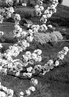 Dekliška pomlad